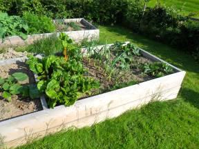 rainbow chard, garlic, and zucchini plants