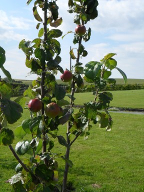 Cooking apple - apple tree end of first year.
