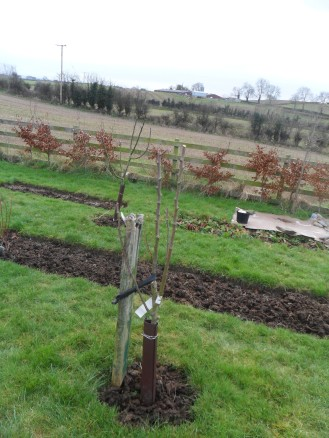 Pear tree year 2 after pruning.