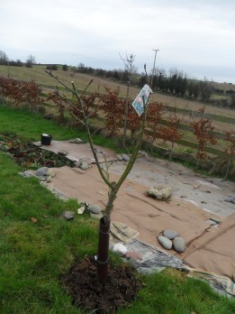 Apple tree year 2 after pruning.