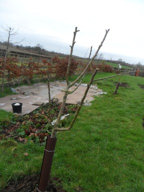 Apple tree Year 2 after pruning .