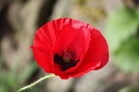 American Legion Poppy.