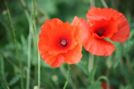Oriental Blend Poppies.