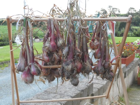 Shallots hung to dry out.