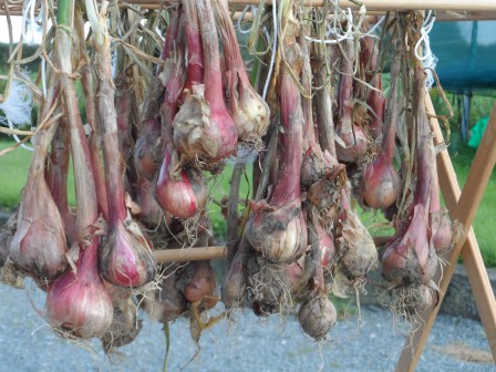 Shallots drying out.