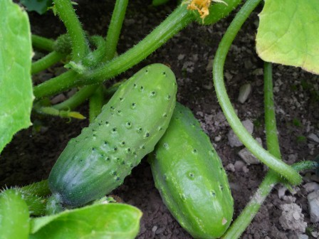 Boston Pickling Cucumbers.