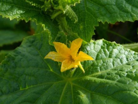 A cucumber flower.