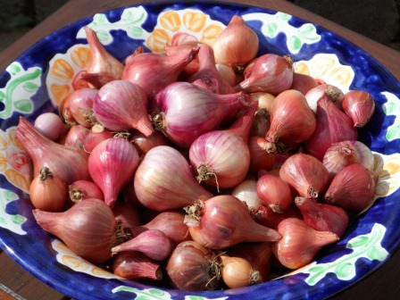 Shallots cleaned up and looking much better.