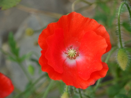 Late blooming poppy.