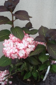 A healthy Hydrangea Selma in 2010.