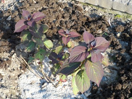 October 2012 Hydrangea Selma filling out.