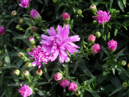 My Asters earlier in the season, after some rain.