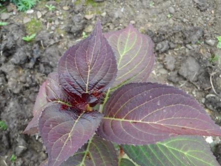 A close up of Hydrangea Selma 2012.