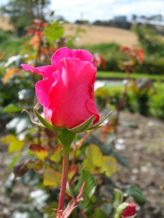 """Hybrid Tea Rose """"Pink Peace""""."""
