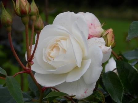 """Floribunda Rose """"Iceberg""""."""