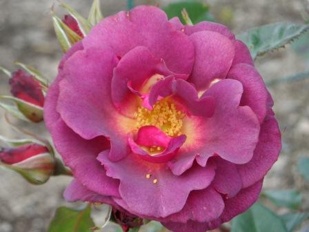 """Floribunda Rose """"Burgundy Ice""""."""