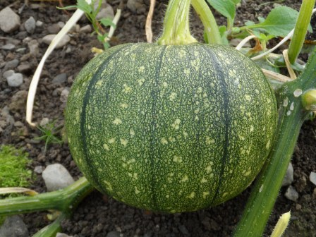 Speckled Pumpkin.