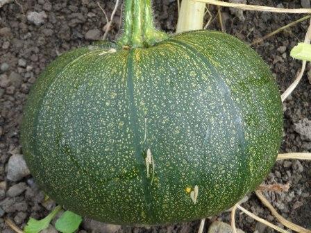 (still very green) Pumpkin.