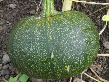 (still very green) Pumpkin.
