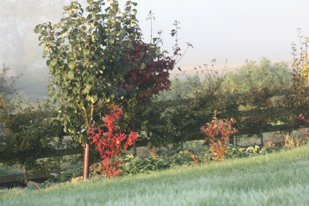 Early morning mist on the apple tree and blueberry bush.