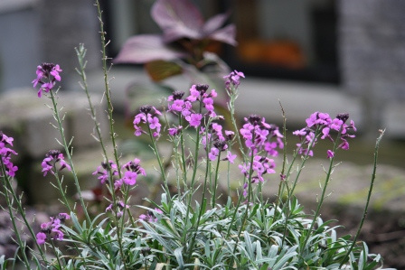 Erysimum Bowles' Mauve (with my pumpkins in the background!).