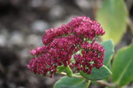 Sedum Autumn Joy.