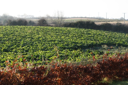 Field of sugar beet.