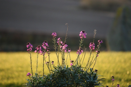 Erysimum Bowles' Mauve late in the day.