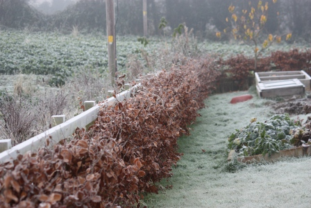 Frosty beech hedges.