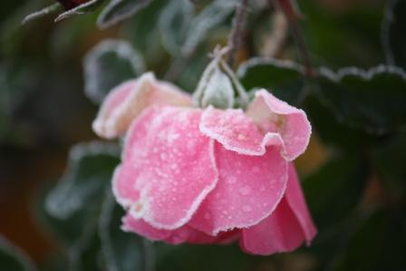 A frosty rose.
