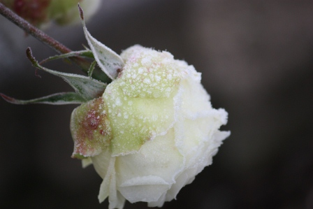 A frosty Silver Anniversary Hybrid Tea rose.