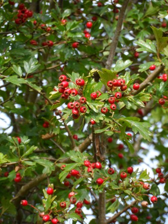 Hawthorne berries from October.
