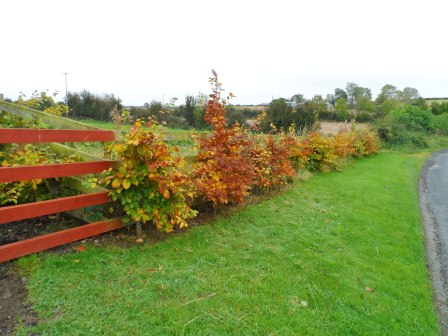 Beech hedging changing color  in October.