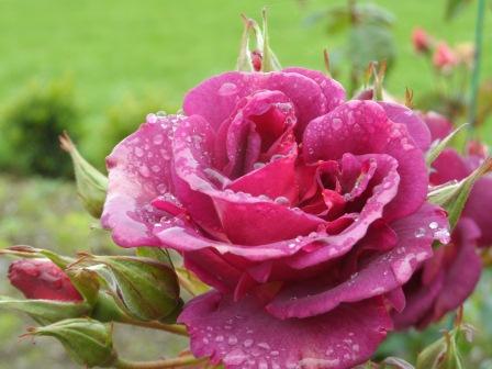 Burgundy Ice Floribunda Rose in October.