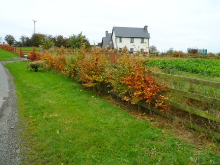 Weeding along the fence of beech hedging.
