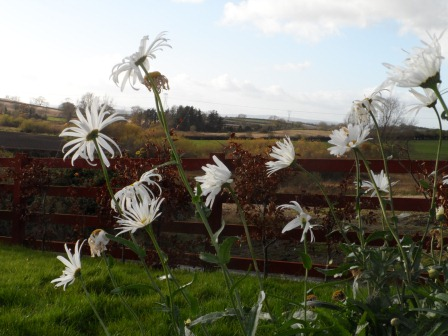 "Shasta Daisy ""Alaska"" in November."