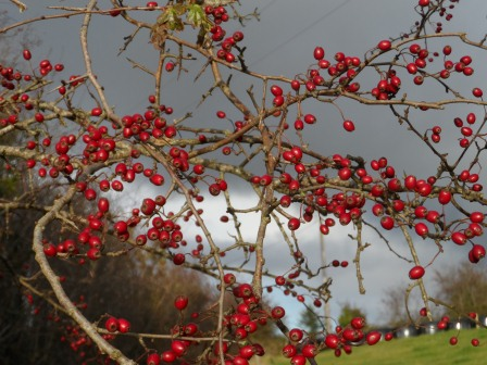 Hawthorne berries in November.