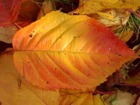Cherry Tree leaves November '12