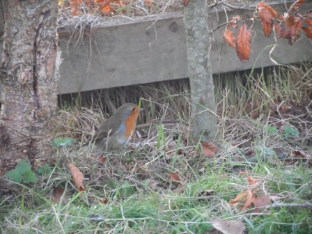 An Irish Robin under the fence.