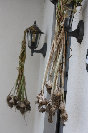Garlic being left out to dry.
