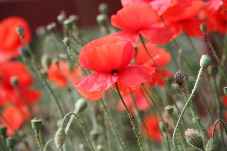 Poppies.