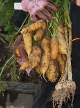 Yellowstone organic carrots (and some garlic).