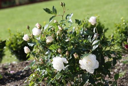 Silver Anniversary Hybrid Tea Rose.