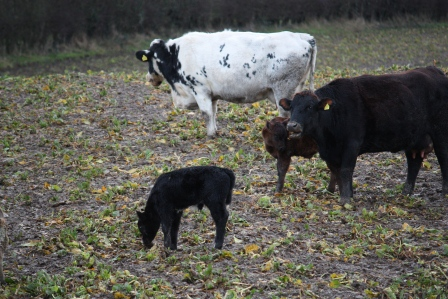The black calf was born in the field.