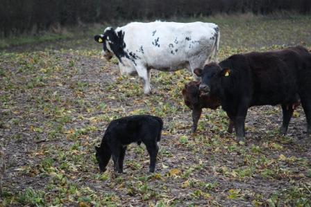 The black calf was born in the field.