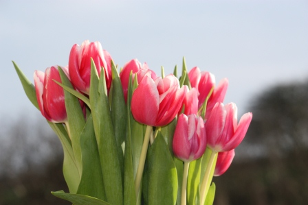 Pink tulips in the sun.
