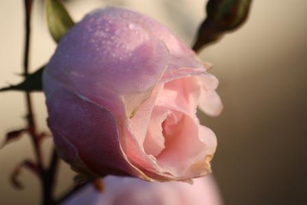 Queen Elizabeth Floribunda Rose.