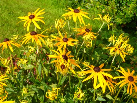 Afternoon sunlight on black-eyed-Susans.
