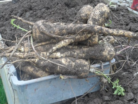 Freshly dug parsnips!