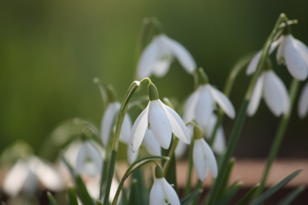 Snowdrops from Wexford.